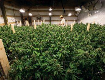 Pennsylvania Gives Go Ahead to First Marijuana Legal Crop