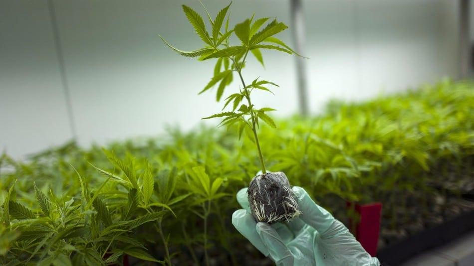Australia's Minister for Health says No to Marijuana