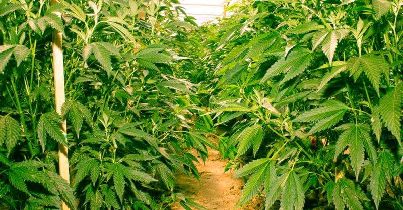 Oregon Has Too Much Marijuana While Colorado is Meeting Demand