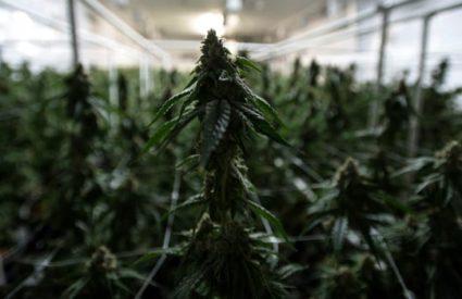 Monday Morning Cannabis QB  – 12/3