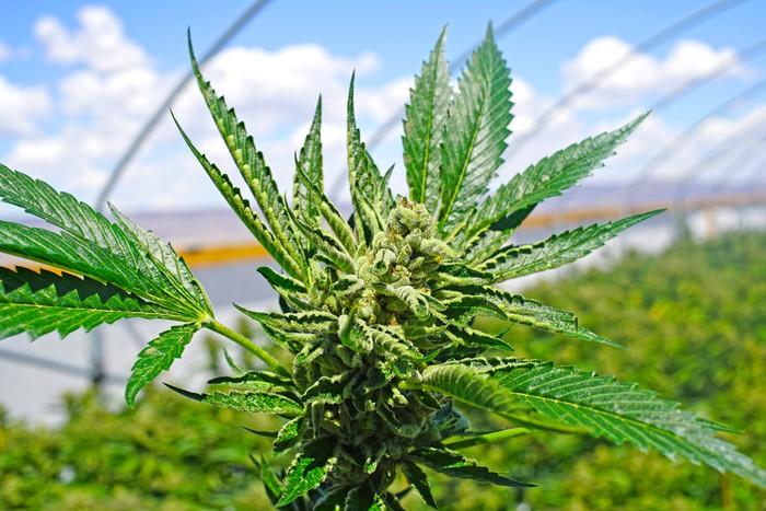 Global Health Experts Recommend Reclassifying Marijuana