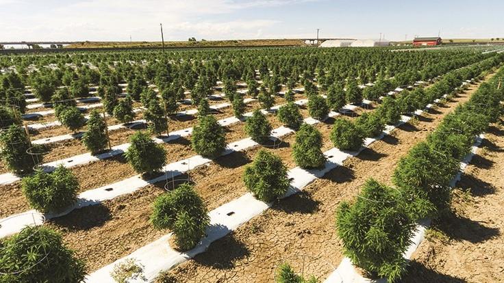 Largest Marijuana Grower in Colorado Loses Millions